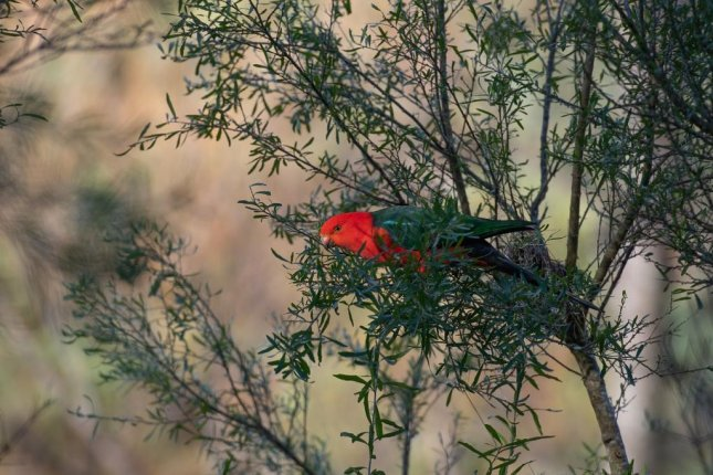 Some animals, including birds such as the Australian king parrot, have shapeshifted over the course of the last 150 years, which researchers link to climate change. Photo by pen_ash/Pixabay