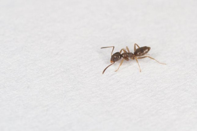 An odorous house ant. Photo by Brian Gratwicke/Flickr