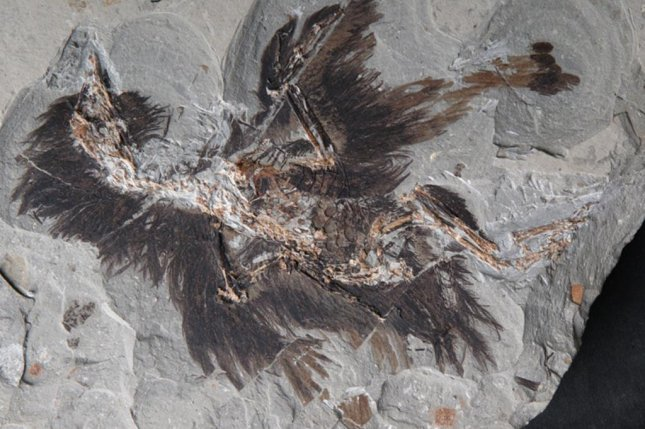 Researchers found pigment-producing organelles as well keratin, a protein that protects skin cells, preserved in the feathers of an ancient bird fossil. Photo by Xiaoli Wang/N.C. State