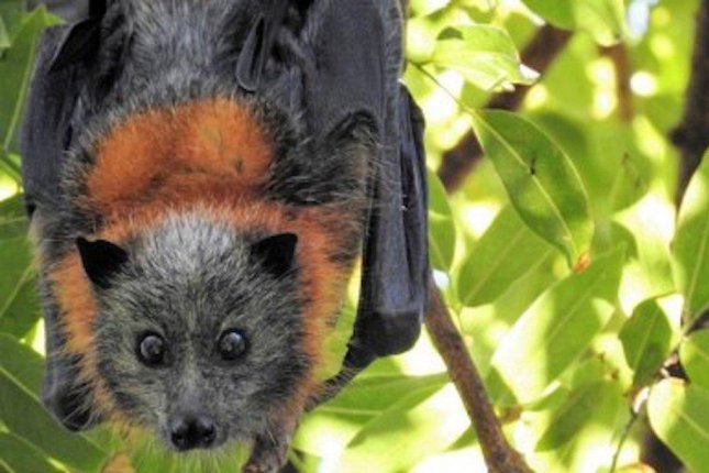 A heatwave during the summer of 2018 wiped out a third of Australia's flying fox population. Photo by University of Queensland