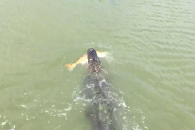 An alligator swims off with a fish stolen from the line of a young boy. Screenshot: Bass Masters And Fish Experts/Facebook