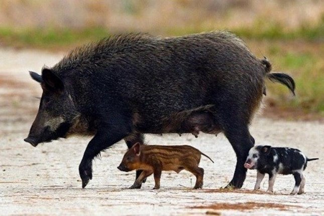 Feral hogs do millions of dollars of damage to crops and ecosystems in the United States. Photo by NPS