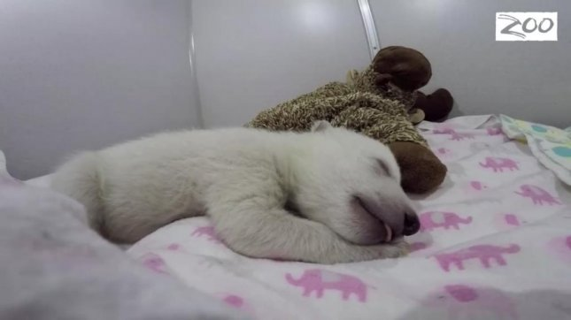 A baby polar bear born Nov. 6 at the Columbus Zoo and Aquarium sleeps under the watchful eyes of zookeepers. Columbus Zoo and Aquarium/Facebook video screenshot