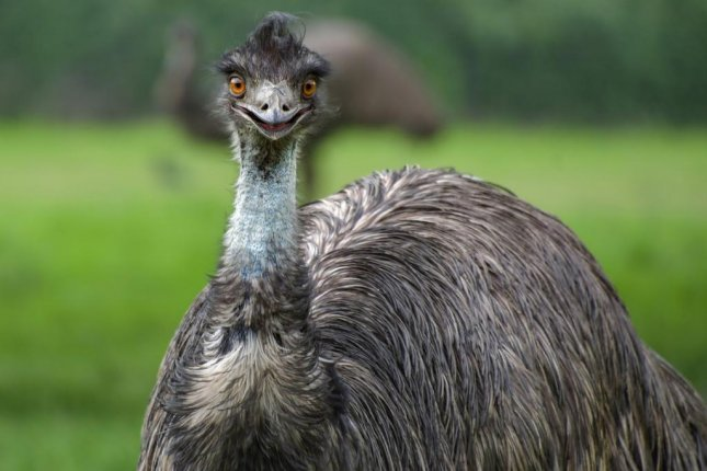 Escaped Emu Runs Loose On Highway