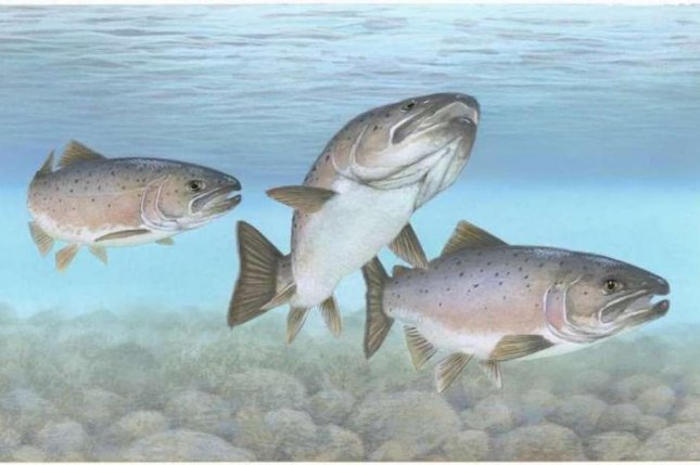 Atlantic salmon are one of the most common farmed fish species. Photo by Timothy Knepp/U.S. Fish and Wildlife Service/CC