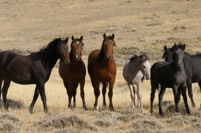 New rules for the Bureau of Land Management's wild horse and burro management plan were signaled by the U.S. Department of the Interior this month. Photo courtesy of the Bureau of Land Management