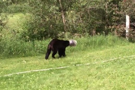 A bear with a jug on its head was lassoed and wrestled by the owner of a Colorado bed and breakfast. Screenshot: Erin Caldwell/YouTube