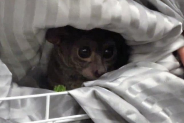 An Oregon pet store owner allegedly used this Galago, or bushbaby, to tip a prostitute. Screenshot: Eugene Police Department/Facebook