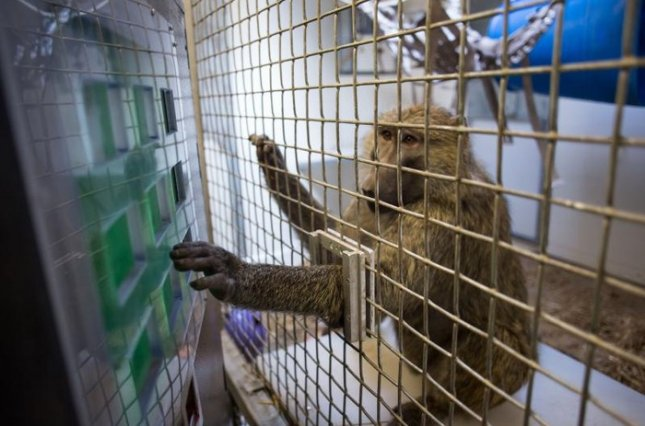 Sabina, an olive baboon at the Seneca Park Zoo in Rochester, N.Y., participates in a University of Rochester study led by cognitive scientist Jessica Cantlon. Credit: J. Adam Fenster, University of Rochester