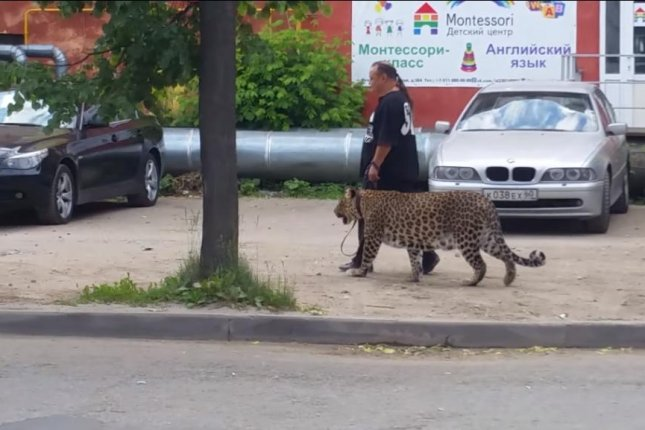 A man takes a leopard for a casual walk down the street in Pskov, Russia. Screenshot: Alex Treshchev/YouTube