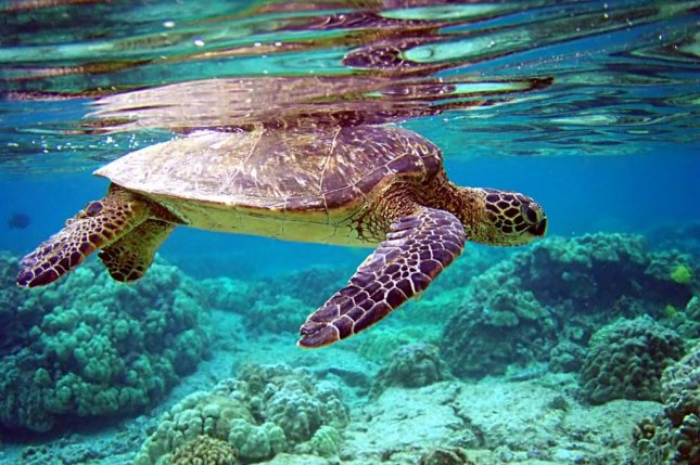Green turtles eat plastic that is shaped like sea grass. Photo by Mila Zinkova/Flickr