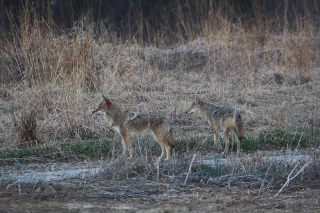 Coyotes are one of several generalist predators that rely on large amounts of human food when living in human-altered habitats. Photoby Anna Weyers/USFWS.
