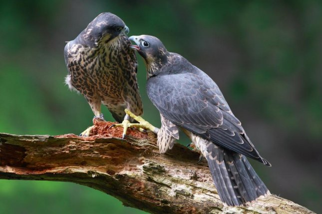 Despite the temptations of the city, Peregrine falcons living in Chicago remain faithful to their mates. Photo by Mark Medcalf/Shutterstock