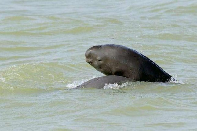 The Yangtze Finless Porpoise is one of many freshwater megafauna species critically endangered as a result of habitat fragmentation and overexploitation. Photo by Huigong Yu