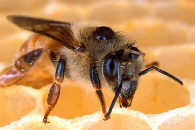A honey bee with a Varroa mite on its back. Photo by Pixabay