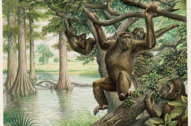New research suggests the pelvis and lower back of an ancient European ape species allowed it to hold itself upright on two legs. Photo by John Siddick