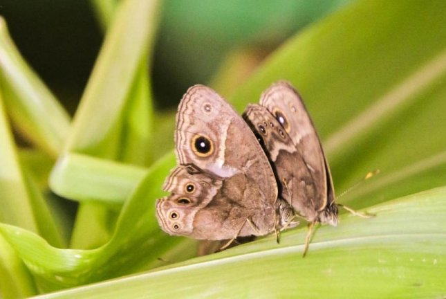 A male bush brown butterfly, on the left, is seen courting a female. Photo by Emilie Dion/NUS