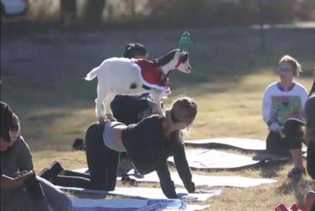 A goat stands on the back of a woman practicing Goat Yoga in Arizona. Screenshot: The Arizona Republic