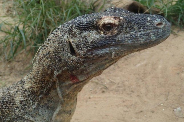 Proteins found in Komodo dragon blood could pave the way for new antibiotics for drug-resistant infections. Photo by Kent Vliet/ACS