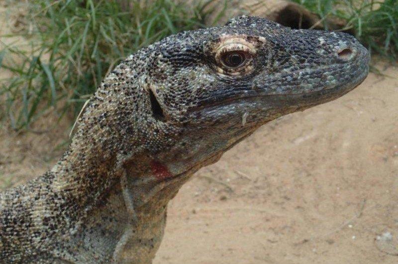 Komodo dragon blood boasts antimicrobial properties