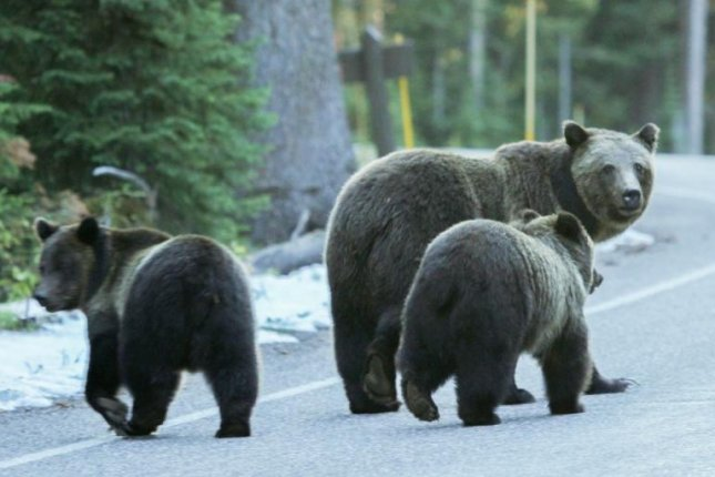 A mom and her two grizzly cubs cross a road in British Columbia. Photo by the University of Alberta