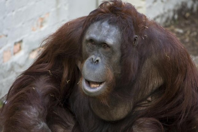 An orangutan much like Sandra, the 29-year-old ape recently ruled a non-human person by a court in Buenos Aires, Argentina on December 21, 2014. Photo by David Davies/CC/Flickr