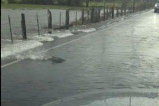 A salmon swims across a flooded Washington state road. JukinMedia video screenshot