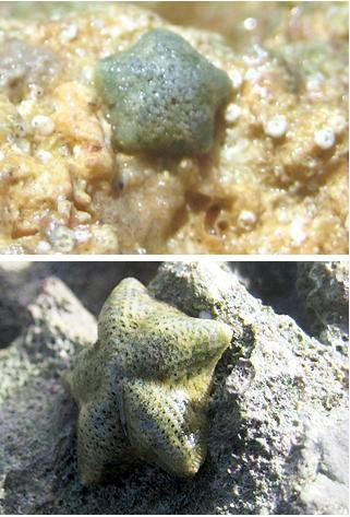 The sea stars Cryptasperina hystera and C. pentagona are close relatives with very different ways of reproducing but difficult to tell apart. A new study shows the species separated just a few thousand years ago. Credit: Jon Puritz/University of Hawaii at Manoa