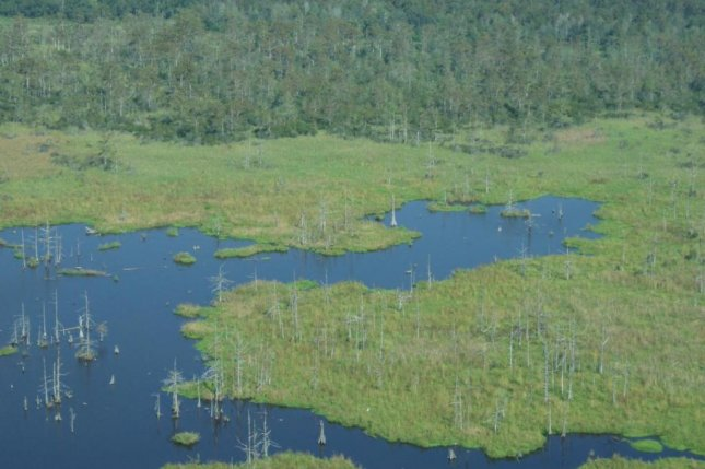 Rising seas result in a greater influx of saltwater, turning Louisiana's coastal swamps into marshes and killing trees. Photo by Torbjorn Tornqvist/Tulane University