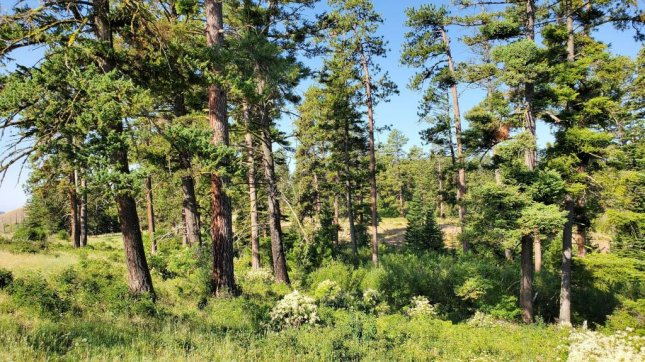Researchers say that large, older trees, such as the Ponderosa pine and Douglas fir trees pictured, are much more efficient at storing carbon than smaller trees -- making them important to protect. Photo by Mildrexler, Berner, Law, Birdsey, Moomaw/Frontiers