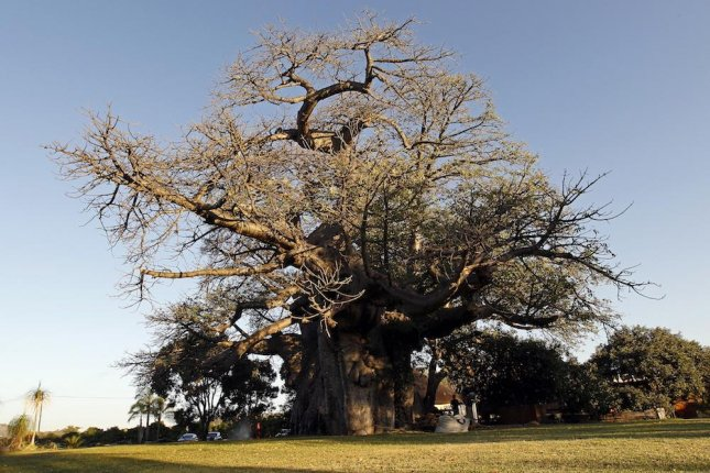Climate change is likely killing ancient baobab trees