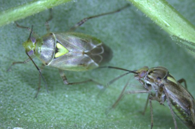 A male western tarnished plant bug approaches a female to sniff out whether or not she's ready to mate again. Photo by Colin Brent, et al./eLife