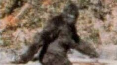 The famous Patterson-Gimlin film screenshot taken on October 20th, 1967, claiming to depict Bigfoot/Sasquatch/Colton.