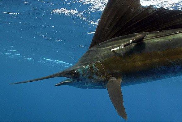 Ocean heat maps reveal secrets of migratory fish like tuna
