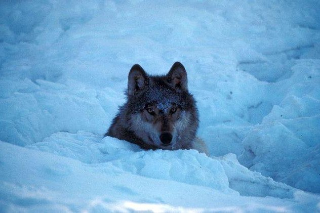 New research suggests killing wolves doesn't diminish the chances of livestock attacks. Photo by the U.S. Fish and Wildlife Service.