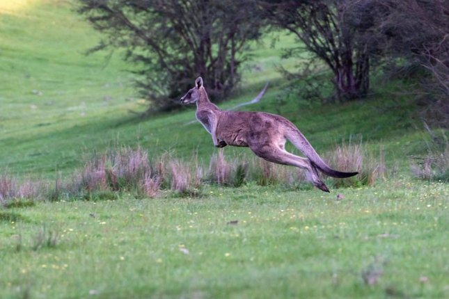 The owner of a Texas ranch is asking members of the public to keep watch for a loose kangaroo that escaped from his property. Photo by pen_ash/Pixabay.com