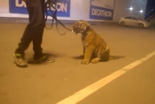 A tiger cub was taken for a walk by a drunken circus worker at the Ryazan Shopping Mall in Russia. Screenshot: ScalesRZN/YouTube