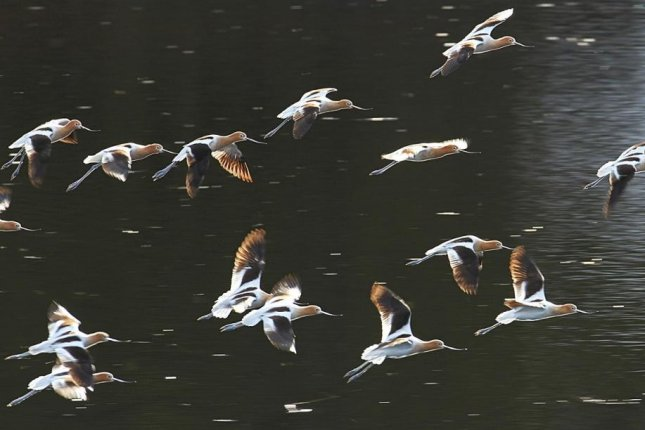 A flock of American avocets lands on the water. Photo by Pixabay