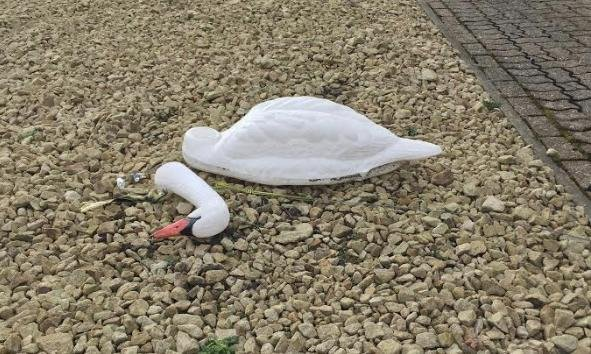 A broken statue led an upset woman to believe a swan had lost its head. Photo courtesy of the Royal Society for the Prevention of Cruelty to Animals