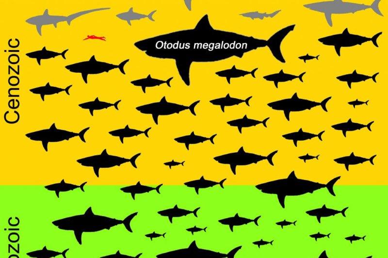 The massive megalodon was truly an outlier among lamniform sharks. Photo byKenshu Shimada