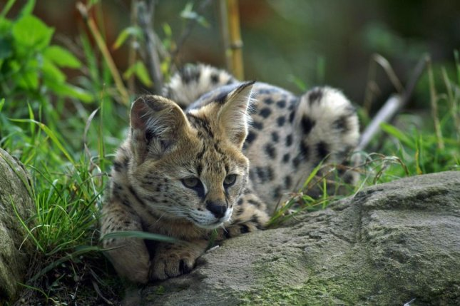 Two African servals are on the loose in the Huntsville, Ala., area after escaping from a pet store owner's barn. Photo by 3342/Pixabay.com