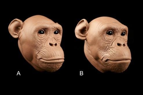 Researchers used chimpanzee soft tissue measurements to develop regression models that can be used to improve soft tissue reconstruction of early hominid species. Photo byRyan M. Campbell
