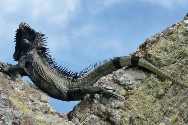 Scientists discovered a new species of iguana, the melanistic black lizard, orIguana melanoderma. Photo by M. Breuil