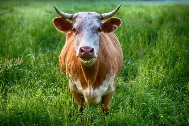 Bull jumps 7-foot fence to escape auction in Ontario