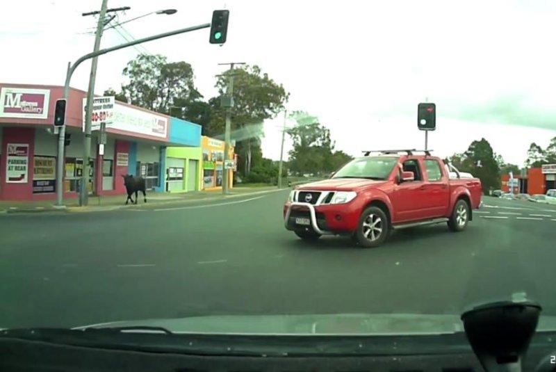 An escaped cow runs loose in an Australian city. Screenshot: Storyful