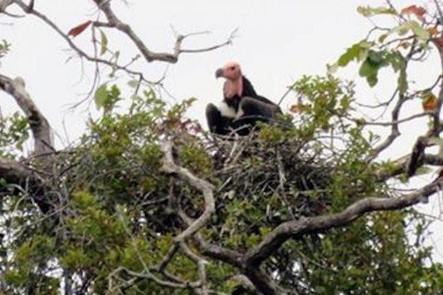 There are fewer than 50 red-headed vultures left in Cambodia. Photo by WCS