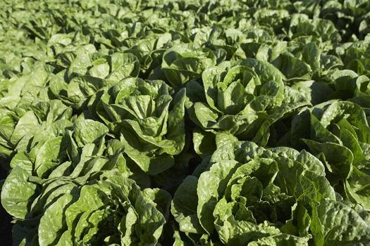 Hundreds have become sick eating E. coli-contaminated romaine lettuce over the last two years, but neither farmers nor the federal investigators know what is causing the contamination. Photo courtesy of the California Leafy Green Marketing Agreement