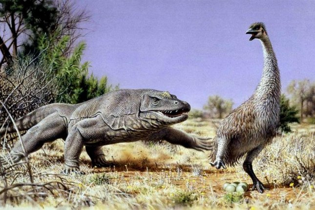 In the above renderings, the giant flightless bird known as Genyornis newtoni is chased from her nest by a mammoth lizard called Megalania prisca. The two megafauna species lived in Australia roughly 50,000 thousand years ago. Photo by Peter Trusler/Monash University