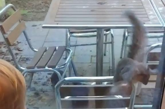 A less-than-graceful squirrel brings shame upon itself and its family by jumping headfirst into a glass door. Screenshot: Newsflare