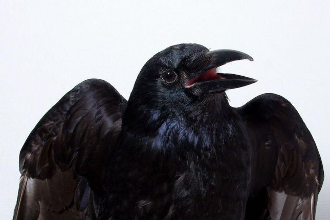 Researchers trained crows to move their heads when they perceived a visual stimuli projected on a screen. Photo courtesy of Tobias Machts, University of Tübingen